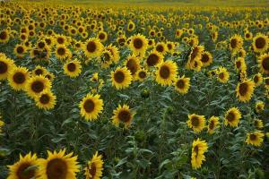 Floarea soarelui, aurul de la Marea Neagră