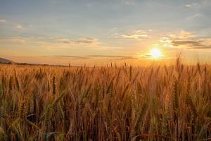 Turcia lărgește condițiile licitației pentru grâu