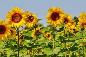 România este nevoită să importe floarea soarelui
