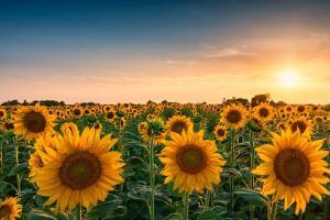 Perspective pentru producția de semințe de floarea soarelui