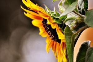 Ucraina caută o soluție pentru reducerea prețurilor interne la floarea soarelui