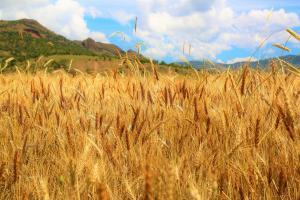Rusia indică reducerea intervenției asupra pieței de cereale