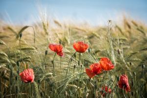 Piața cerealelor în Europa și regiunea Mării Negre
