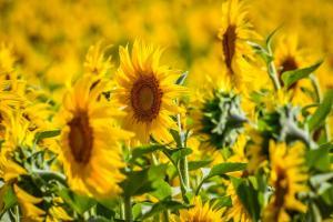 Rusia ia în considerare eliminarea taxelor de export pe ulei de floarea soarelui