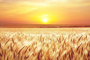Piața regională a grâului întâmpină dificultăți majore