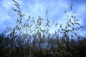 Prețul grâului continuă să se afle sub presiune