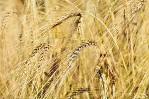 Apetitul Chinei pentru importul de grâu crește în continuare