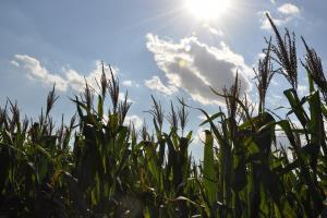 Cum ar putea evolua prețul porumbului pe piața cerealelor