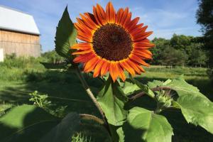 Ucraina dezbate limitarea și impozitarea suplimentară a exporturilor de floarea soarelui