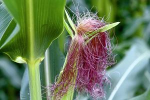 Porumbul din America de Sud presează piața cerealelor