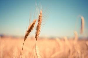 Perspective pentru piața grâului în sezonul 2021/2022