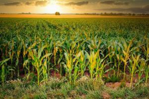 Piața europeană de cereale rămâne volatilă
