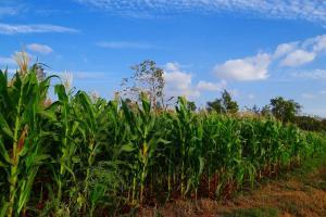 Recoltele noi de porumb din Brazilia continuă declinul