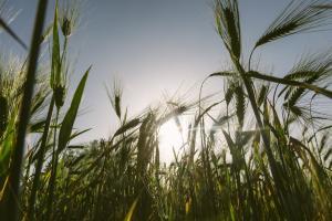 Situația grâului de primăvară din SUA - cel mai slab sezon din ultimii 33 de ani