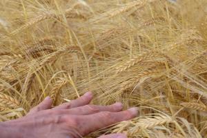 Grâul de primăvară în SUA este afectat de secetă
