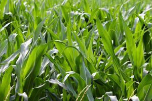 Raportul Wasde stimulează creșterea prețului porumbului