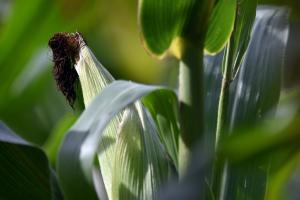 India devine competitivă la exportul de porumb