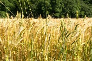 Potențialul de producție la grâu și orz în Europa este ridicat