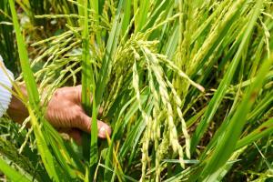 Prețurile la grâu și porumb încep să se stabilizeze