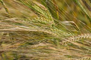 Creșterea consumului afectează stocurile globale de cereale