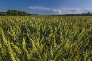 Starea precară a culturilor nord-americane susține prețul cerealelor