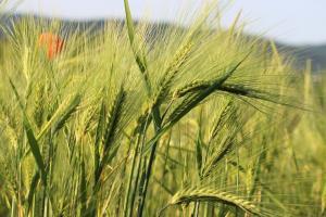 Stocurile mondiale reduse vor susține prețurile cerealelor