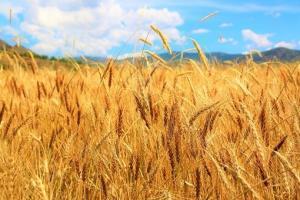 GASC a cumpărat 60 kilotone de grâu românesc