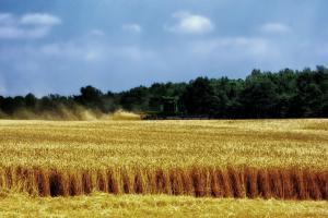 Prețurile cerealelor sunt în ușoară consolidare