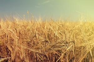 Prețurile cerealelor europene scad sub presiunea noilor recolte