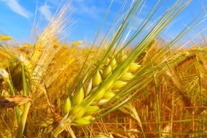 Prețul grâului rusesc continuă să scadă