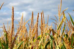 Bursa de cereale din Chicago dă semne de slăbiciune