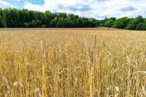 Piața cerealelor așteaptă rapoartele din America