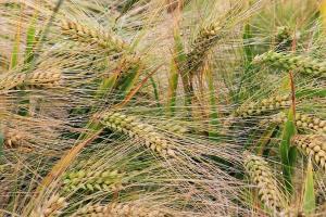 La început de sezon, licitațiile de grâu sunt intense