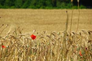 Cererea de cereale ar putea fi diminuată pentru Europa