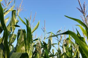 România va avea producții la cereale peste media ultimilor 5 ani