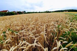 IGC estimează o scădere minimă a producției mondiale de grâu