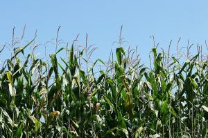 Condițiile meteorologice încă pun presiune pe prețul grâului