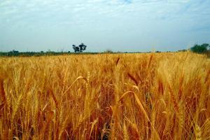 India și exportul de grâu