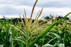 Raportul USDA reduce drastic producția de grâu în Rusia