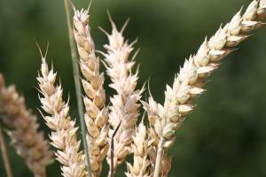 Raportul WASDE pune mai multă presiune pe prețul grâului