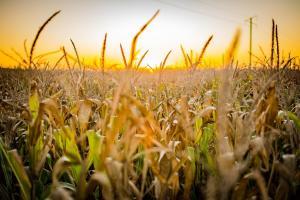 Prețul porumbului revine în forță pe piața cerealelor