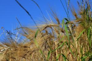Japonia revine de piață pentru a cumpăra grâu de panificație