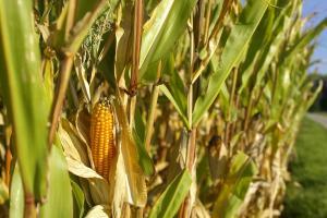 Prețul grâului nu mai poate susține prețurile la porumb și soia