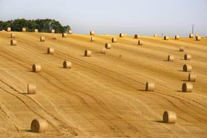 Prețurile cerealelor și semințelor oleaginoase europene sunt în scădere