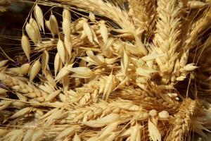 Prețul grâului european revine pe fondul unei cereri globale susținute