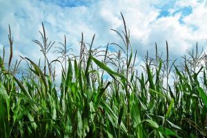 Ucraina poate deveni  al cincilea exportator mondial de cereale