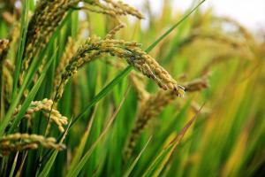 Seceta continuă să limiteze producția culturilor de vară din România