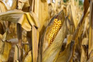 Prețul grâului Matif intră în consolidare
