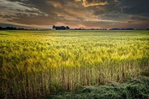 Ofertele de grâu ale României nu sunt competitive la export