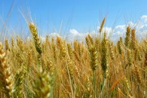 Raportul Wasde dă un avânt prețului grâului la toate bursele